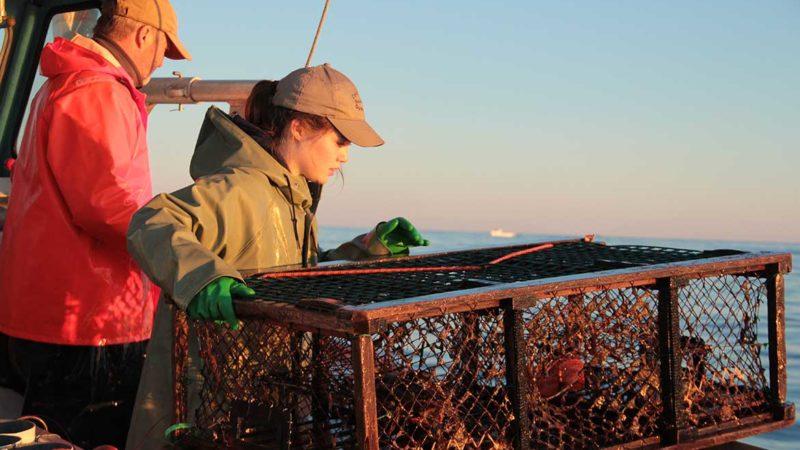 lobster-homarus-americanus-harvesting