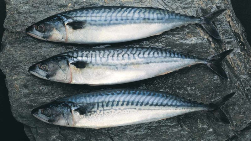 canada-mackerel-whole-fresh
