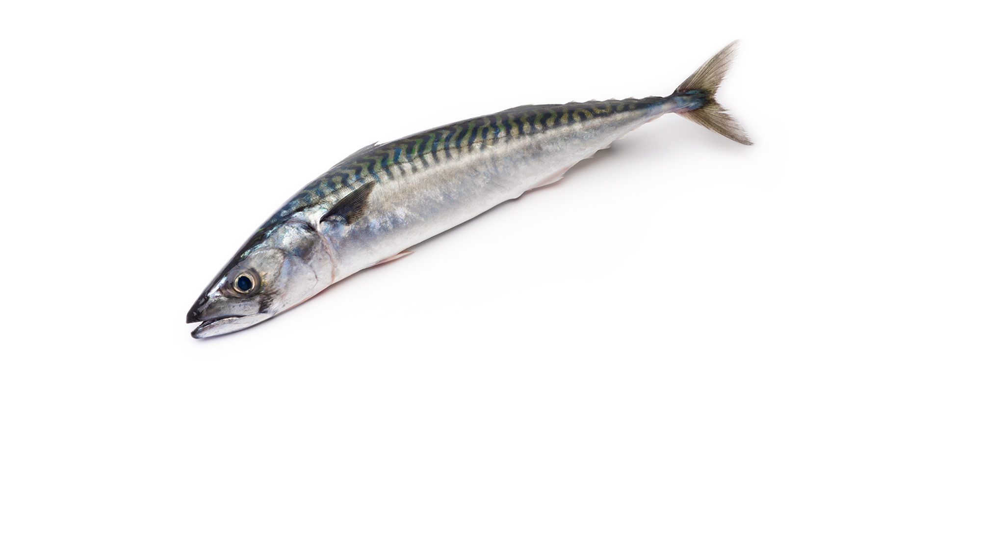 atlantic-mackerel-scomber-scombrus