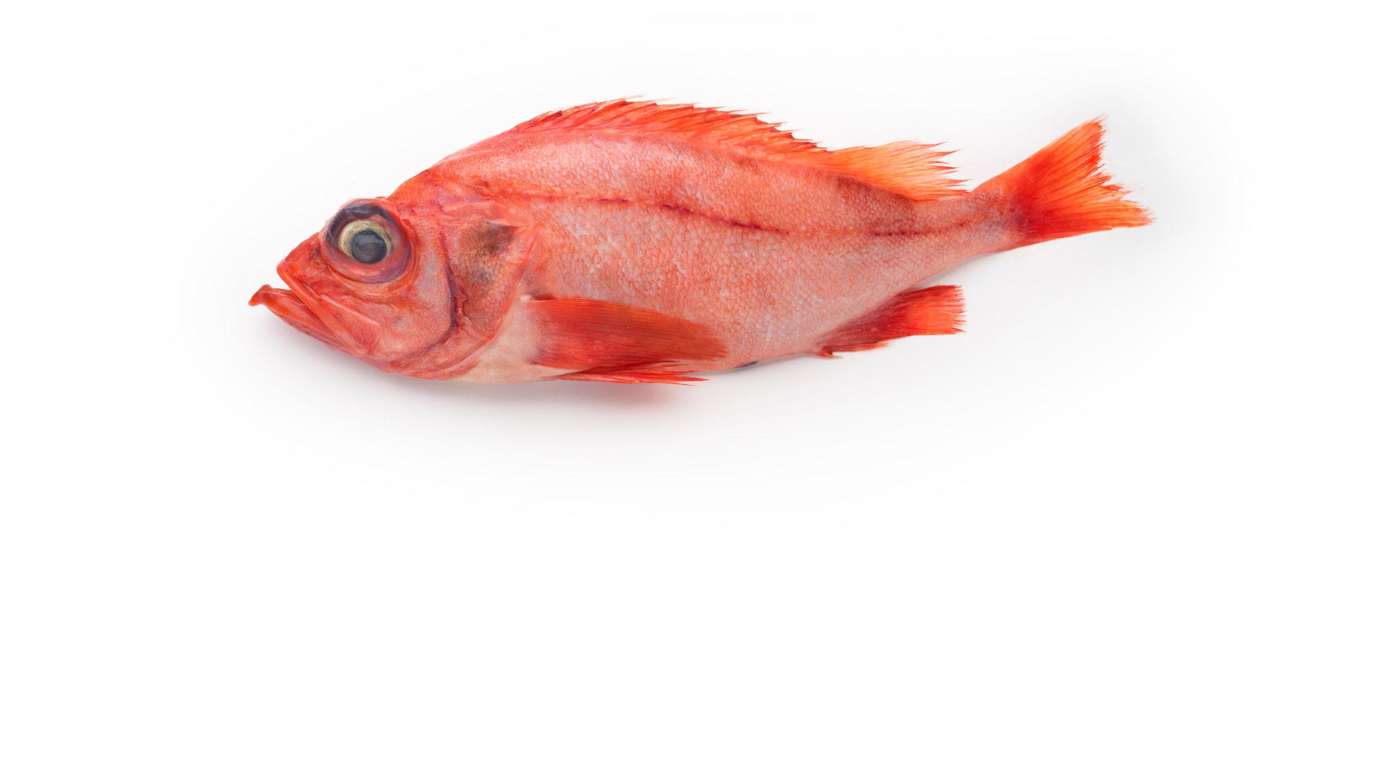 red-fish-ocean-perch-sebastes-fasciatus-sebastes-mentella