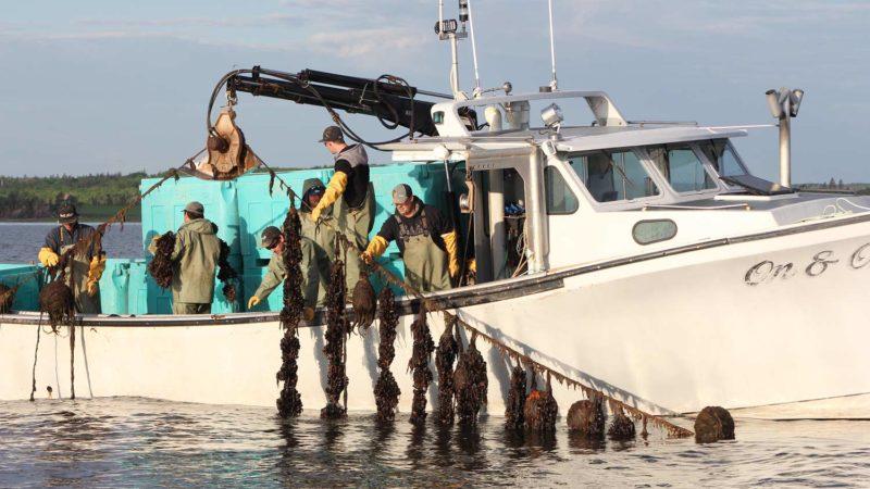 farmed-blue-mussels-mytilud-edulis-harvesting-ocean-people
