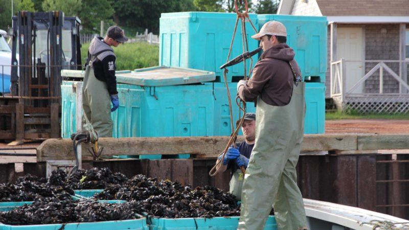 farmed-blue-mussels-mytilud-edulis-harvesting-ocean-people-docked