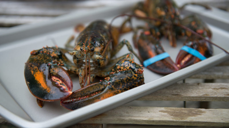 canada-lobster-homarus-americanus-live-raw-whole