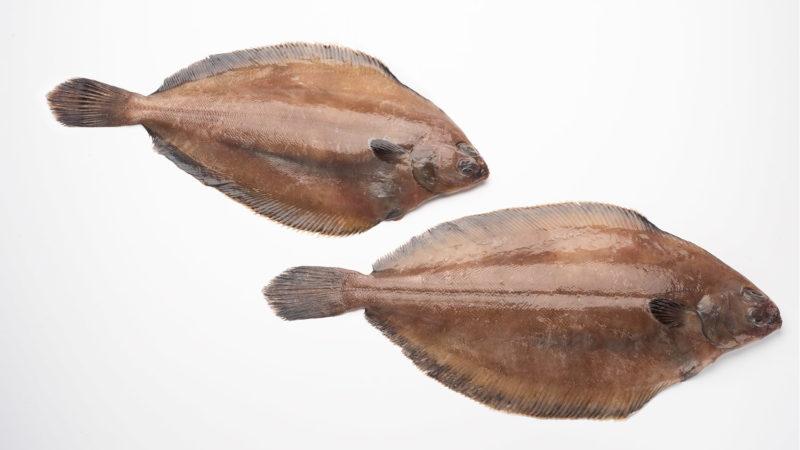 flounder-sole-pseudopleuronectes-americanus