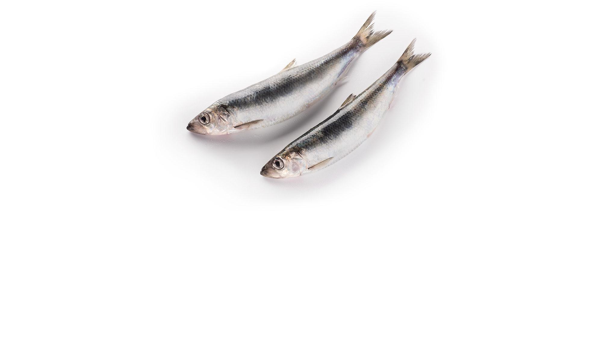 atlantic-herring-clupea-harengus