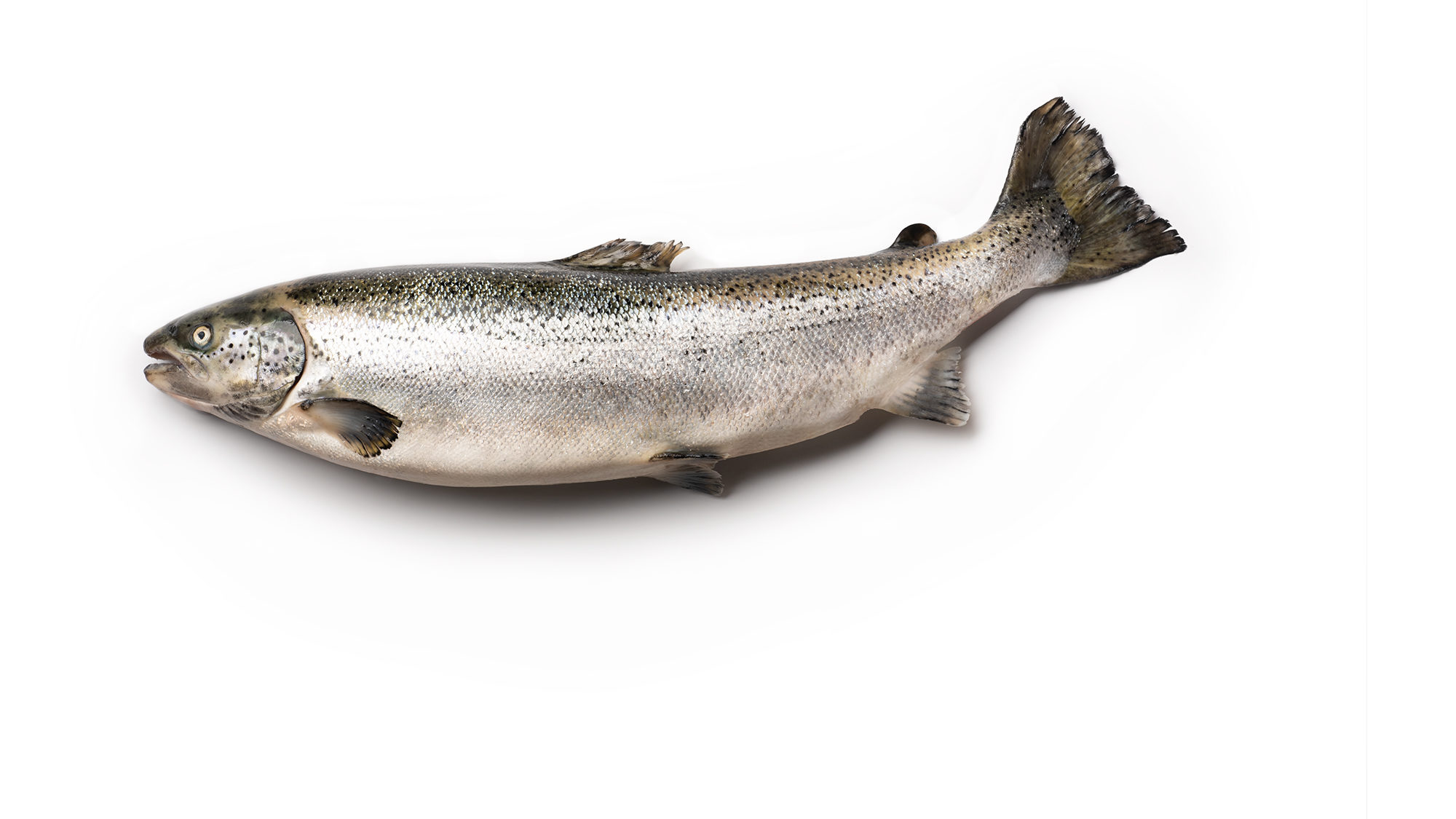 atlantic-salmon-salmo-salar