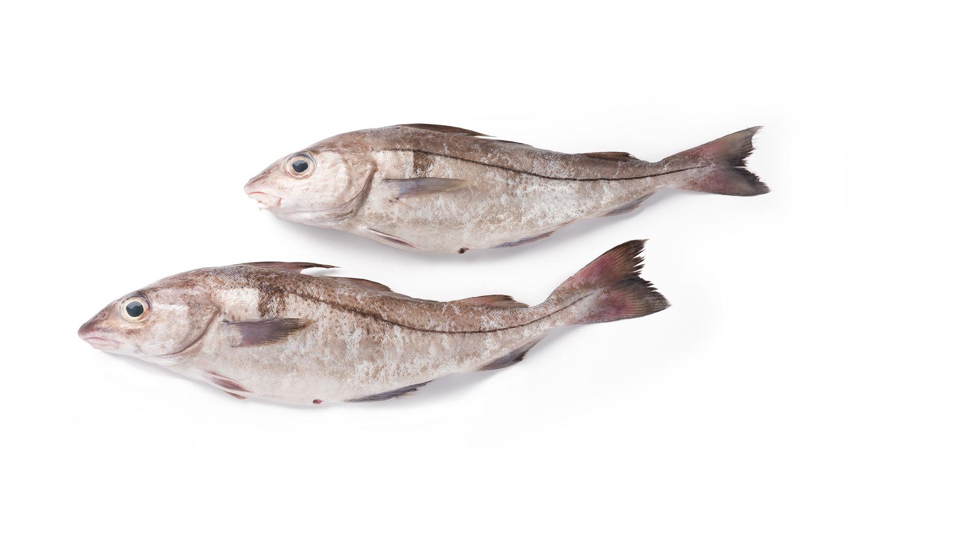 haddock-melanogrammus-aeglefinus