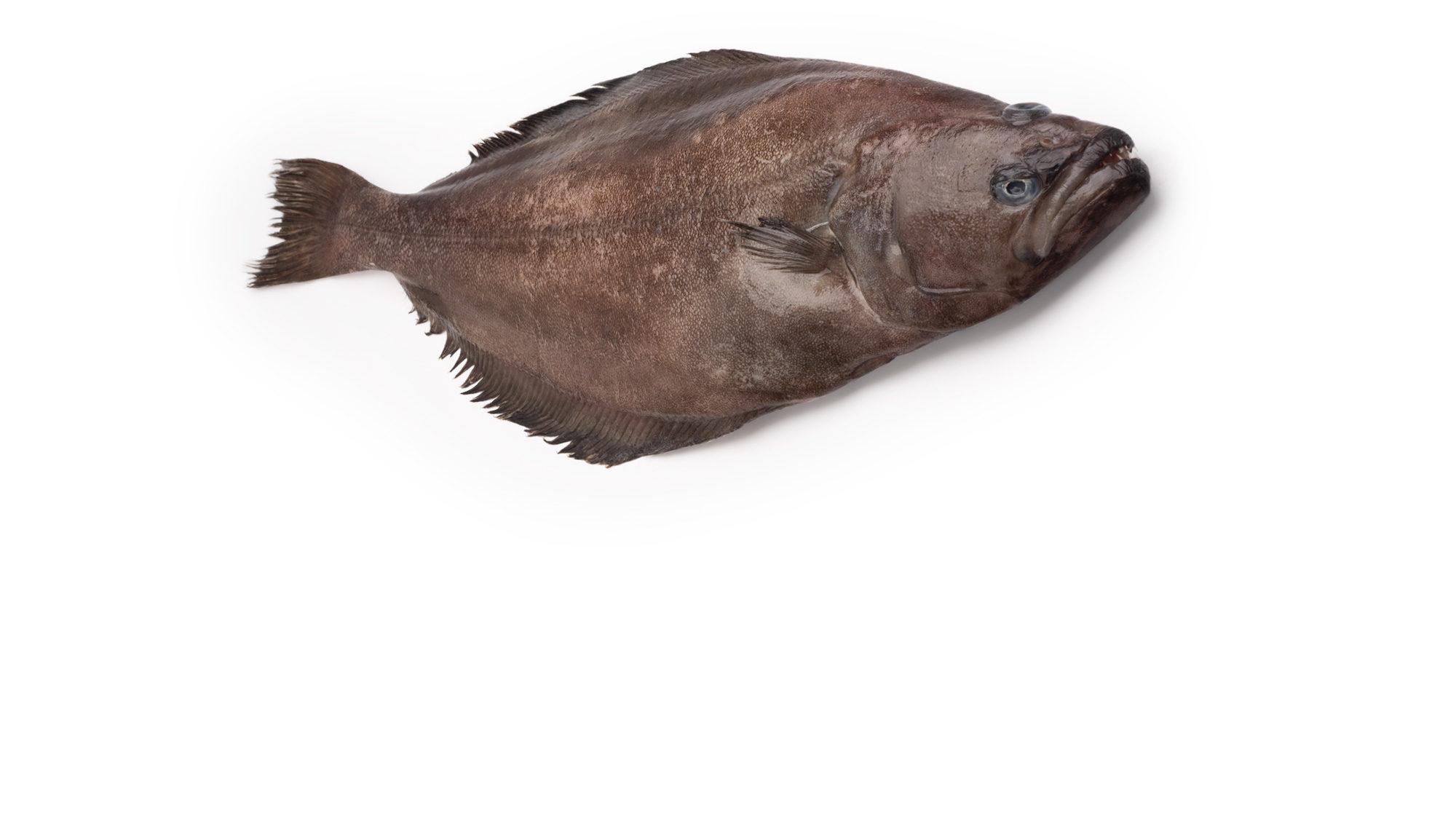 halibut-greenland-turbot-reinhardtius-hippoglossoides