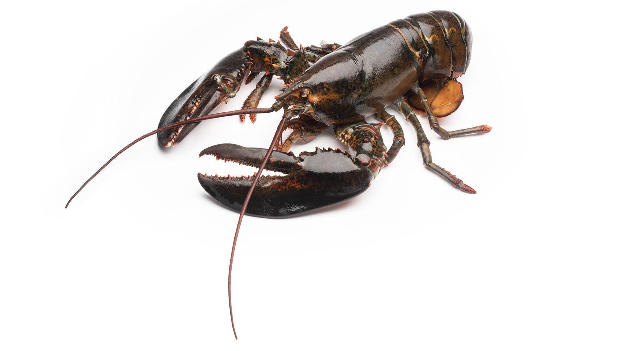 product-lobster-homarus-americanus-live